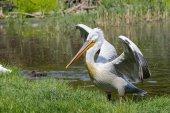Dalmatian pelican (Pelecanus crispus)  — Stock Photo