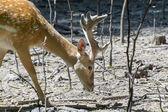 Persian fallow deer (Dama mesopotamica) — Stock Photo