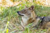 Golden jackal (Canis aureus) — Stock Photo