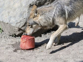 Gray wolf with a bloody ice cream — Stock Photo