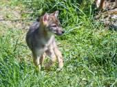 Altın çakal (Canis aureus) köpek yavrusu — Stok fotoğraf