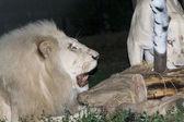 White lion maul a fake zebra — Stock Photo