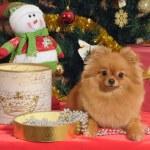 Pomeranian dog at the Christmas tree — Stock Photo #59909693