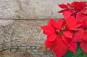 Poinsettia on wooden background — Stock Photo