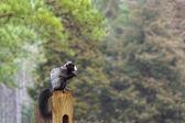 Black Squirrel — Stock Photo
