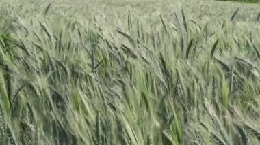 Green Barley Field Mildly Caressed by Wind, Steady Shot, Nature Background Health Concept HD — Stock Video