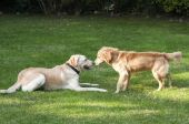Dogs playing in backyard — Stock Photo