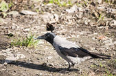 Crow on autumn ground — Photo