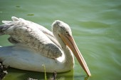 Pelican on pond waters — Stock Photo