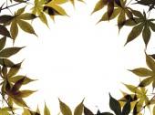 Autumn leaves on white — Stock Photo