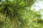 Pine tree closeup — Stock Photo