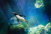 Penguin diving — Stock Photo