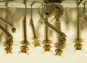 Mosquito larvae — Stock Photo