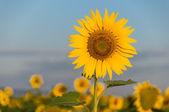 美丽的向日葵 — 图库照片