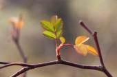 Leaves briar — Stock Photo
