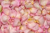 Pink rose petal background — Stock Photo