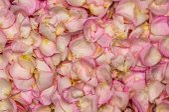 Roze roos bloemblad achtergrond — Stockfoto
