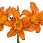 Orange lily flowers — Stock Photo #76673077