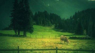 Swiss Cow — Stock Video