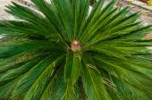 Japanese sago palm. — Stock Photo