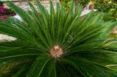 Japanese sago palm. — Stock Photo
