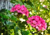 Pink Geranium — Stock Photo