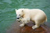 Funny polar bear cub and water-melon crust — Stock Photo