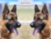 German Shepherd  — Stock Vector