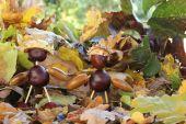Chestnut guys — Stock Photo