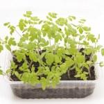 Tomato seedlings in plastic — Stock Photo #70760663