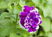 "Petunia Grandiflora Terry ""rapture"" — Stock Photo"