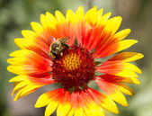 A bee collecting pollen on a flower Gaillardia — Stock Photo