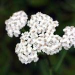 Wildflower - Yarrow (Achillea millefolium) — Stock Photo #54618975