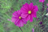 庭園のコスモス (コスモスの花色) — ストック写真