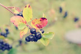 Black chokeberry, Aronia melanocarpa. . Retro photo filter effec — Stock Photo