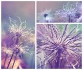 Pulsatilla vulgaris seedhead — Stock Photo