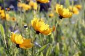 Cosmos sulphureus (Sulfur Cosmos) — Stock Photo