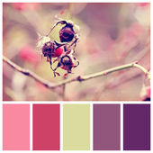 Dog rose berries with complimentary colour swatches — Stock Photo