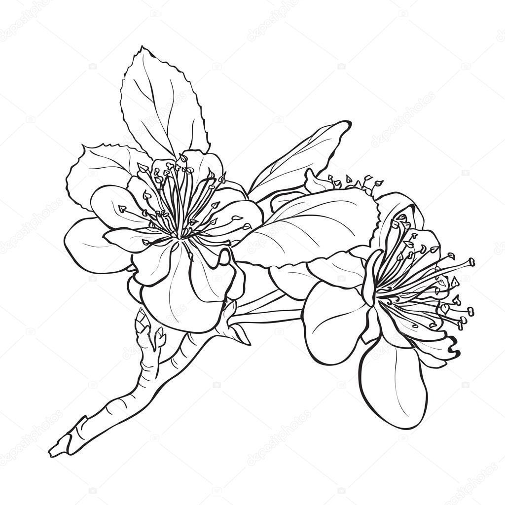 Stock Illustration Flower Cherry Blossoms Drawing on black pacifica