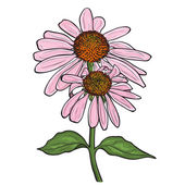 Hand drawn flowers - Echinacea purpurea — Stock Vector