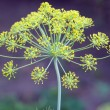 Dill inflorescence — Stock Photo #54353153