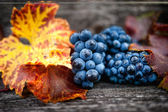 Autumn harvest at vineyard with fresh, bio red grapes. Autumn theme or background with grapes and leaves — Stock Photo
