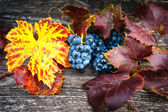 Fresh fruits, ripe grapes at vineyard ready for wine production — Stock Photo