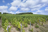 Vignoble champenois France — Stock fotografie