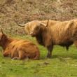 Highland cattle, Scotland — Stock Photo #52254479