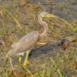 Tricolored Heron — Stock Photo #52254759