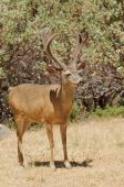Californian Black-tailed buck — Stock Photo