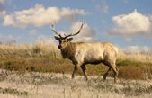 Lone bull Tule Elk (Wapiti) — Stock Photo