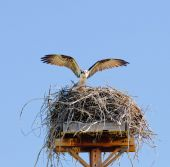 Osprey landing on nest — Foto de Stock
