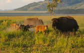 North American Buffalos — Stock Photo